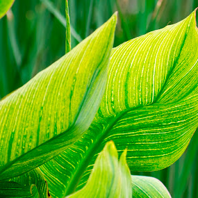 Awesome texture in canna lily plant leaves by Basant Malviya - Nature Up Close Leaves & Grasses ( leaves,  )