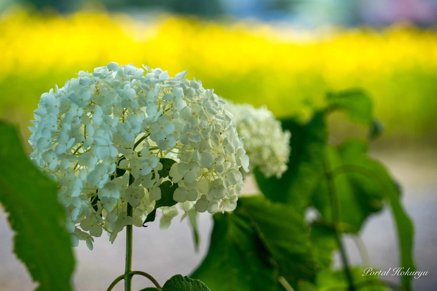愛すべき花アナベル