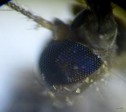 Photo: какого цвета глаз у комара?