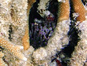 Photo: Entacmaea quadricolor (Pink Tip Bubble Anemone), Naigani Island, Fiji