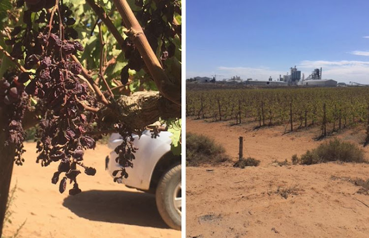 As a result of higher temperatures and less water, Nico Greeff's grape farm, Begin Boerdery, is producing 60% of its usual crop.