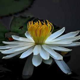 Lotus by Ignatius Winarto - Flowers Single Flower ( photographers, lotus, photographer, blossoming, flowers, photography, lotus flower, blossoms, flower )