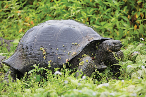A giant tortoise in the Galapagos. It's the largest living species of tortoise.