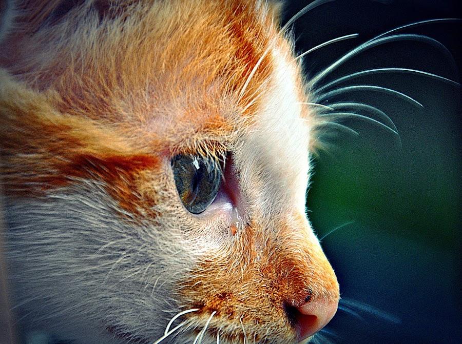 Felis Catus by Abhishek Gupta - Animals - Cats Portraits ( cats )