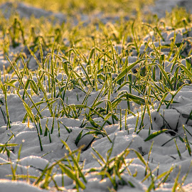 I'm cold by Janez Šturm - Nature Up Close Leaves & Grasses ( green, grass, snow, winter, cold, morning,  )