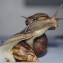 Giant African Landsnail / Caracol-Gigante-Africano