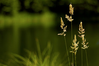 Photo: Summer grass  #365project curated by +Susan Porter+Simon Kitcher+Patricia dos Santos Paton+Vesna Krnjic