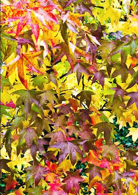 le foglie di Liquidambar di g.paciphoto