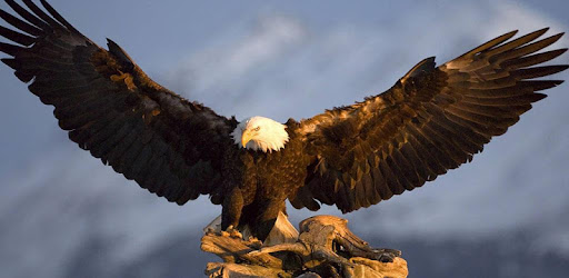 Bald Eagle Wallpaper Apps On Google Play