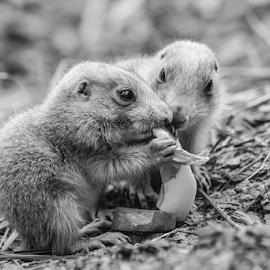 Happy couple by Garry Chisholm - Black & White Animals ( mammal, nature, dog, prairie, garry chisholm )