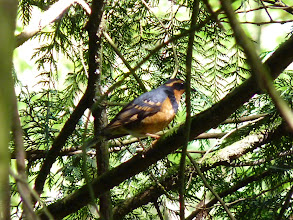 Photo: Varied Thrush:  http://www.allaboutbirds.org/guide/varied_thrush/id