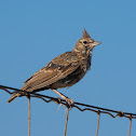 Cogujada común (Crested lark)