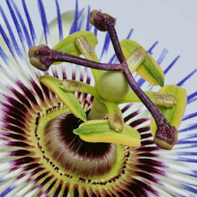 Passion Flower by Michael Schwartz - Flowers Single Flower ( passionflower, summer, beauty, passion, flower )