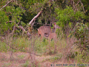 Photo: Samice Kudu s pijícím mládětem / Kudu female with a suckling calf