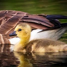 Canada goose Gosling by Debbie Quick - Animals Birds ( new palz, canada goose, debbie quick, nature, goose, debs creative images, water, new york, gosling, outdoors, creek, bird, animal, wild, hudson valley, wildlife,  )