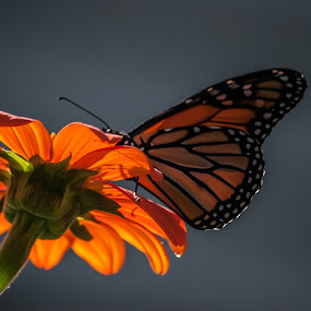monarch 2 by Tim Hauser - Animals Insects & Spiders ( butterfly, nature, monarch, art, fine art, wildlife, insect, animal )