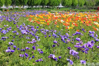 Photo: 拍攝地點: 梅峰-一平台 拍攝植物: 冰島虞美人(白 黃 橘) 白頭翁(藍紫色) 拍攝日期: 2014_04_16_FY