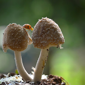 crossing  by Girdan Nasution - Nature Up Close Mushrooms & Fungi ( #mushrooms #lady bug #color #makro )