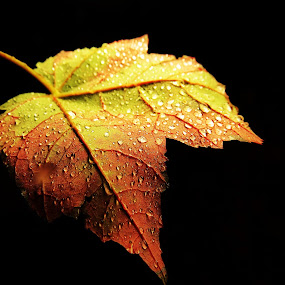 Autumn Colors by Janet Herman - Nature Up Close Leaves & Grasses ( nature, autumn, fall, leaf, leaves, maple )