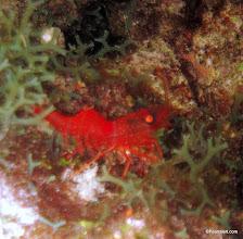 Photo: Red Night Shrimp