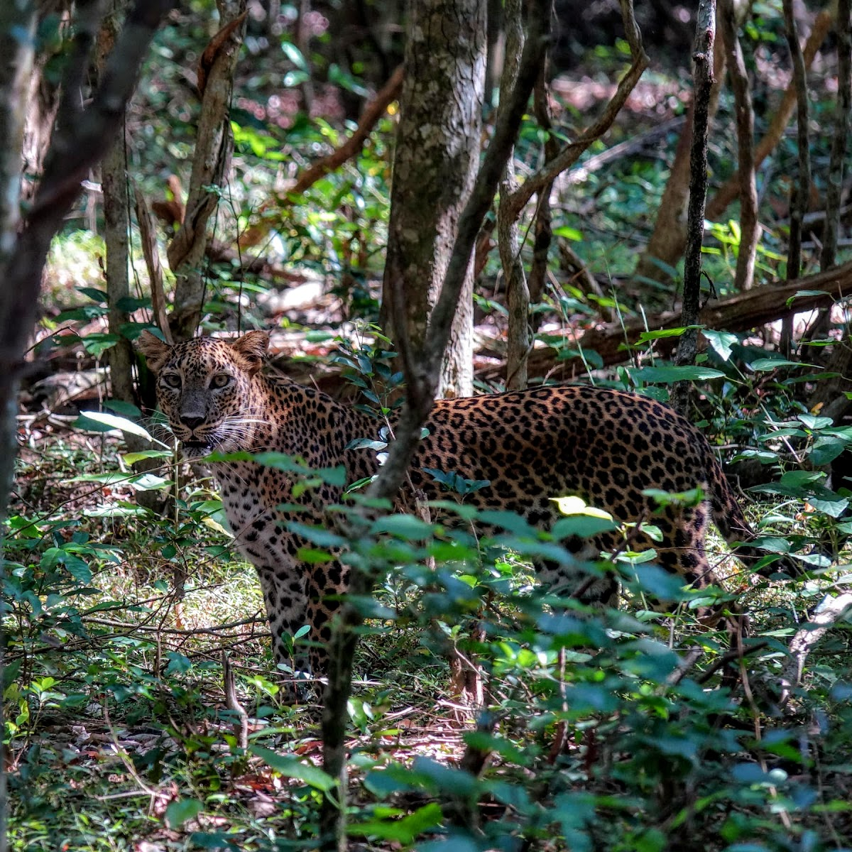 Sri. Lanka Wilpattu National Park . Or maybe in front of me?