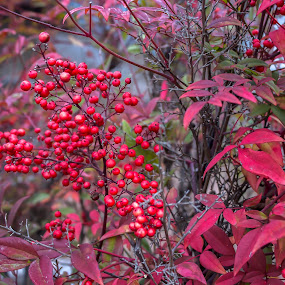 Red by David Shearer - Flowers Flowers in the Wild ( plant, flower, berries,  )