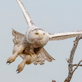 Snowy Owl in Flight by Debbie Quick - Animals Birds ( raptor, debbie quick, owl, nature, outdoor photography, nature up close, nature lovers, natures best shots, debs creative images, national geographic, outdoor magazine, wildlife photography, birds of prey, outdoors, animal photography, bird photography, bird, animal, owl photography, wild, nature photography, wildlife )