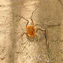 Short-legged Harvestman Spider