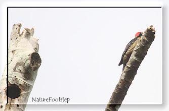 Photo: Black-cheeked Woodpecker - Melanerpes pucherani, male NF Photo 110128 at Gavilan Lodge, Costa RIca  http://nfcrbird.blogspot.com/2011/02/black-cheeked-woodpecker-melanerpes.html