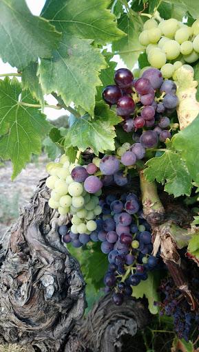 La vigne, ses fruits, le vin et ses parfums 2019