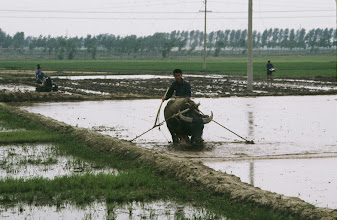 Photo: 11178 揚州~南京/列車から/水牛で水田を耕す