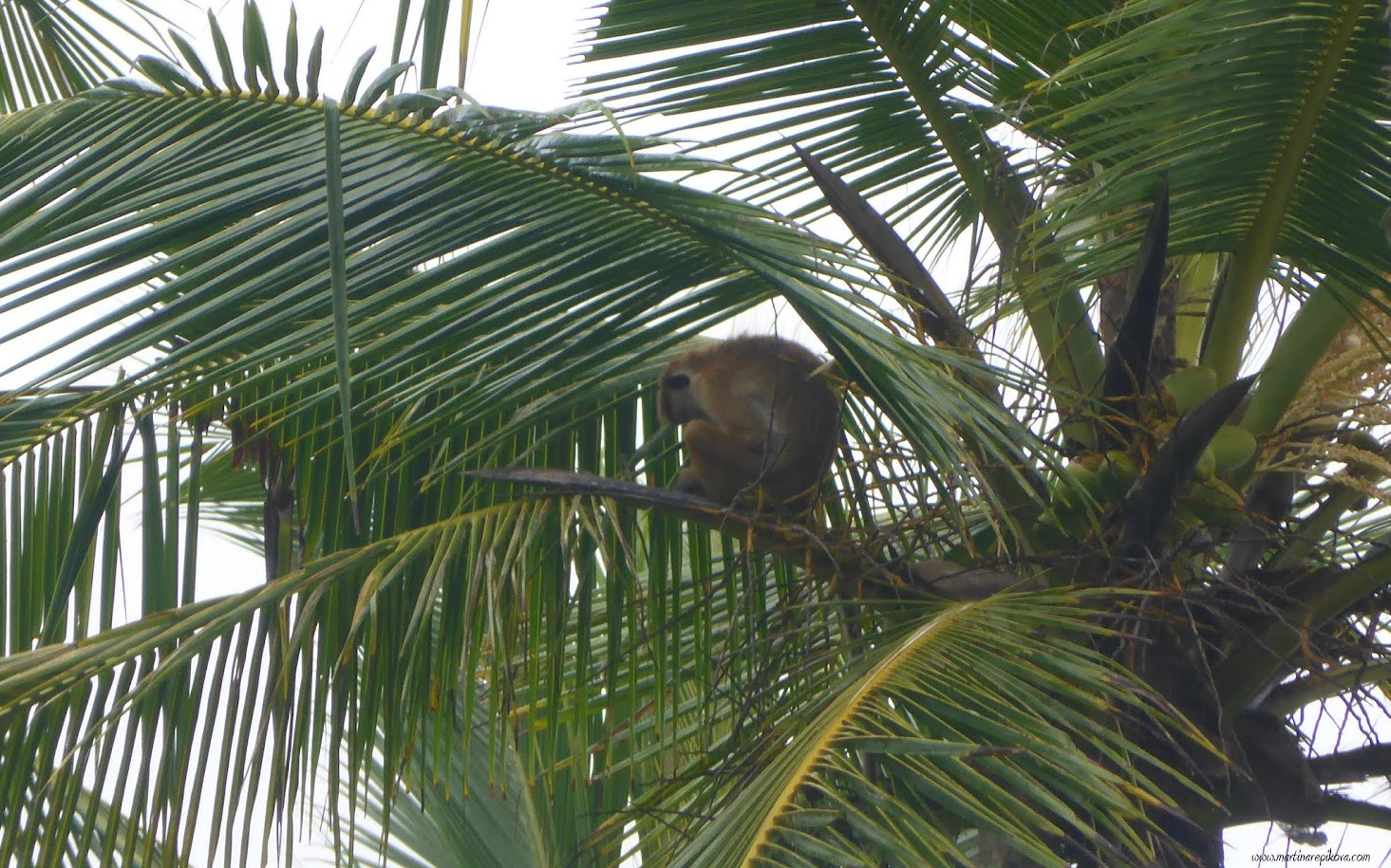 Monkey on a palm tree, Sri Lanka