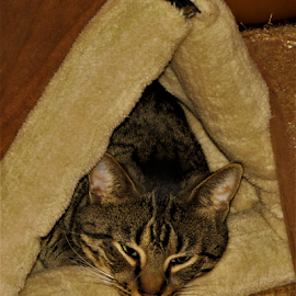 Bedtime by Hal Gonzales - Animals - Cats Portraits ( cat, housecat, bed, ears, eyes,  )