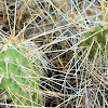 Columbia prickly pear