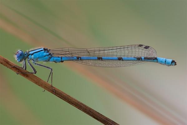 Damigella blu di batfabio