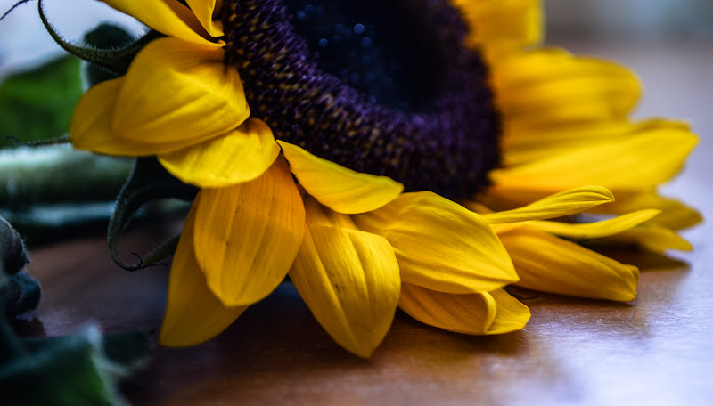 sunflower di gina_todisco