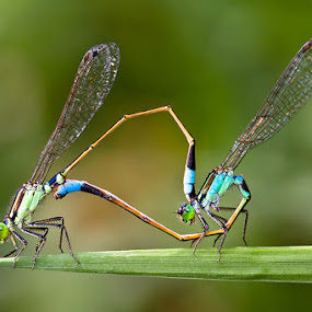 Couple by Lessy Sebastian - Animals Insects & Spiders ( green, wildlife, couple, insects )