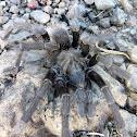 Mt Diablo Tarantula