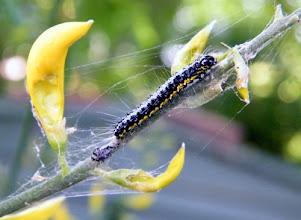 """Photo: Chenille du papillon """"Uresiphita gilvata"""" sur fleurs de genêt qu'elle apprécie particulièrement . 18.05."""