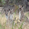 Eastern Grey Kangaroos (juvenile joeys)