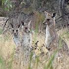 Eastern Grey Kangaroos (juvenile joeys)