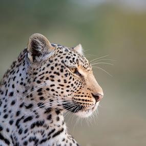 Leopard Portrait by Hilton Kotze - Animals Lions, Tigers & Big Cats ( mammals, big cat, wild, animals, {panthera pardus}, wildlife, predator, carnivore, environment, nature, conservation, africa, leopard, safari animals )