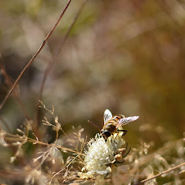 Passenger by Neli Dan - Animals Insects & Spiders ( bee, light, background, autumn, flower )