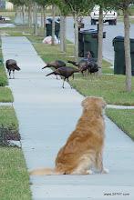 Photo: Turkeys, East Village, Celebration, FL