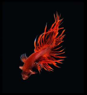Betta fish hd apps on google play for Siamese fighting fish crossword