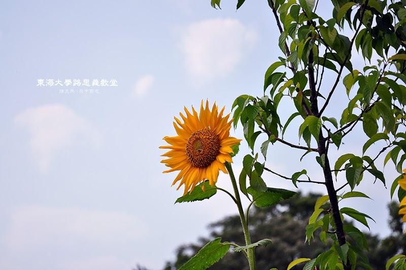東海大學向日葵