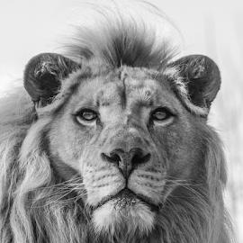 Themba by Garry Chisholm - Black & White Animals ( lion, nature, kent, garrychisholm, smarden, big cat sanctuary )
