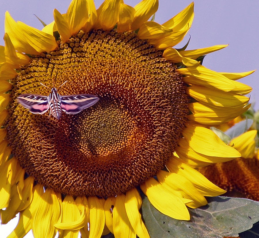 Moth on the sunflower by Jackie Eatinger - Animals Insects & Spiders (  )