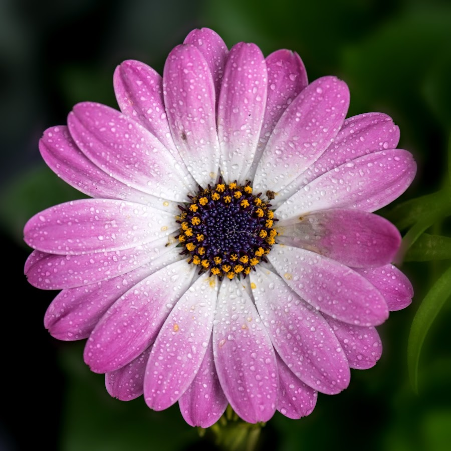 *** by Tracey Dobbs - Flowers Single Flower ( water, macro, purple, flower, rain )