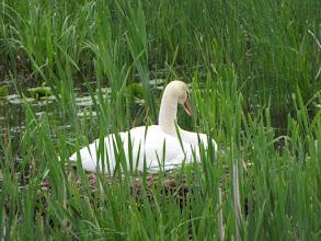 Photo: A nesting swan